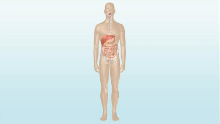 Dessin présentant les intestins